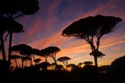 Paisagem Protegida da Arriba Fóssil da Costa de Caparica. Pinheiro Manso (Pinus pinea) © Carlos Dias 1997